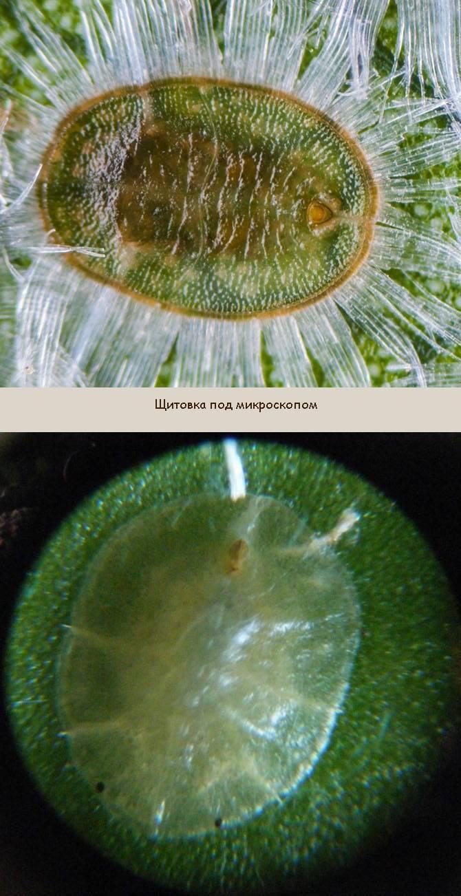 Вредитель щитовка на растениях: описание эффективных методов борьбы
