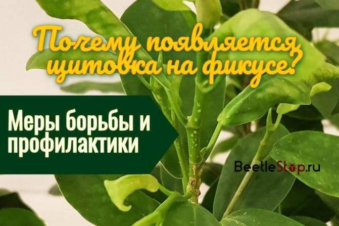 Паутинный клещ на комнатных растениях — как бороться