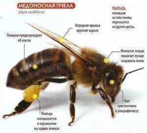 """Рубрика """"пчелы"""""""