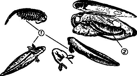 Полоскун бороздчатый
