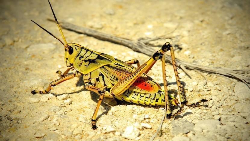 Саранча насекомое саранчовые