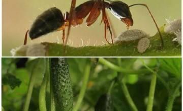 Муравьи едят капусту — как остановить урожай?