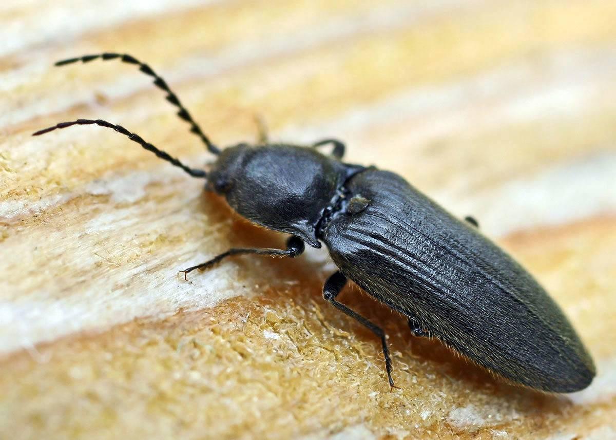 Как бороться жуком щелкуном (проволочником) на огороде