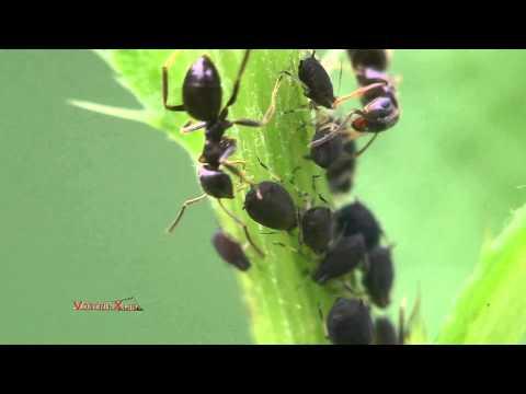 Способы борьбы с тлей на комнатных растениях