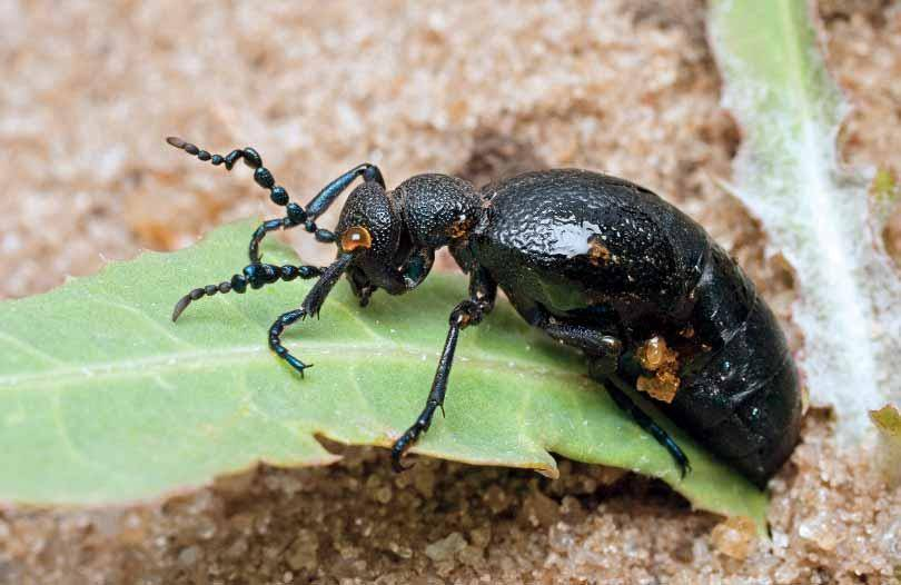 Восковик перевязанный: как выглядит и где живет цветастое насекомое?