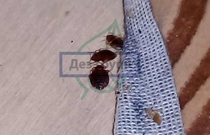 Как действует полынь на клопов? отпугивает ли трава насекомых или убивает? как лучше использовать полынь в борьбе с насекомыми?
