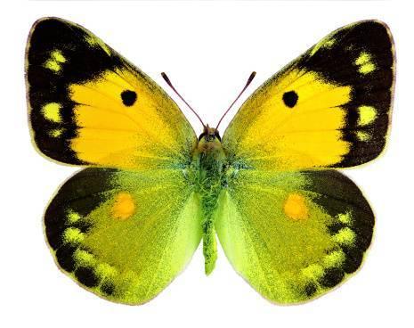 Желтушка луговаябабочка желтушка луговая – любительница клевера и люцерны