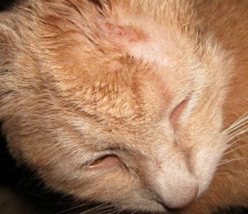 Кот постоянно чешется и вылизывается: возможные заболевания и лечение