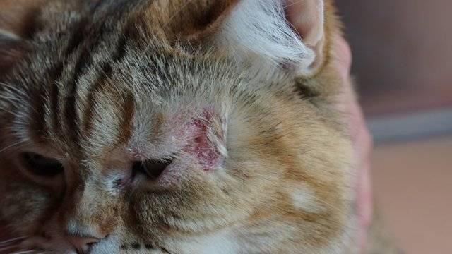 Подкожный клещ или демодекоз у кошки: симптомы, причины и способы лечения