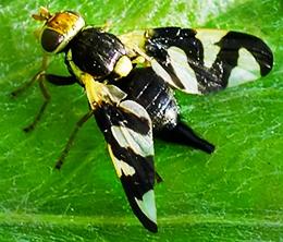 Как избавиться от вишневой мухи. как бороться с вишнёвой мухой вишневая муха методы борьбы