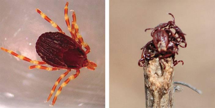 Все об иксодовых клещах: как выглядят, жизненный цикл развития, чем опасен укус