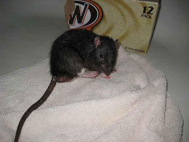 Уничтожить крыс своими силами — 10 способов