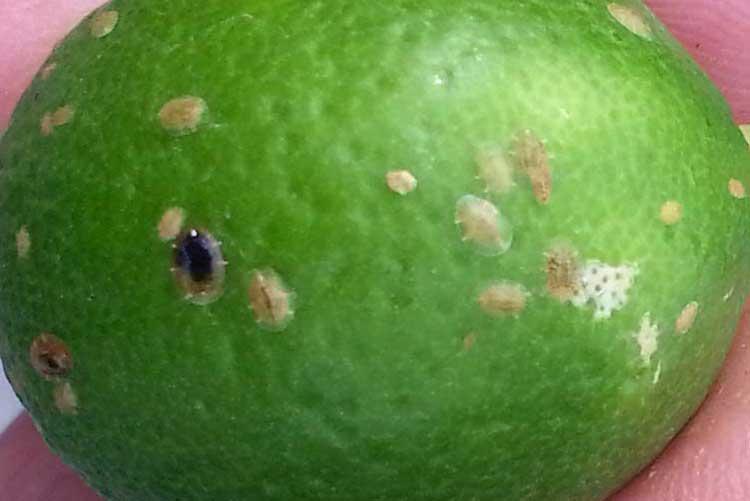 Чем обработать лимон от вредителей. как избавиться от щитовки на лимоне – доступные и эффективные методы. борьба с паутинным клещом в саду