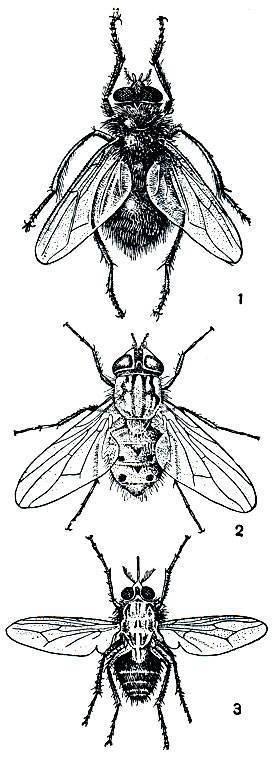 Почему муха журчалка похожа на пчелу. муха журчалка – полезное насекомое. внешний вид и жизненный цикл