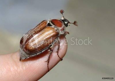 Как избавиться от личинки майского жука на клубнике: эффективные методы борьбы