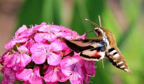 Большая коричневая гусеница с глазами. винный бражник – образ жизни редких бабочек и гусениц