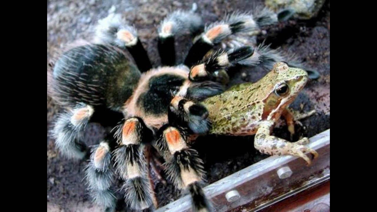 Чем питается паук птицеед на самом деле? кормление пауков птицеедов пауки-птицееды, виды, фото и названия