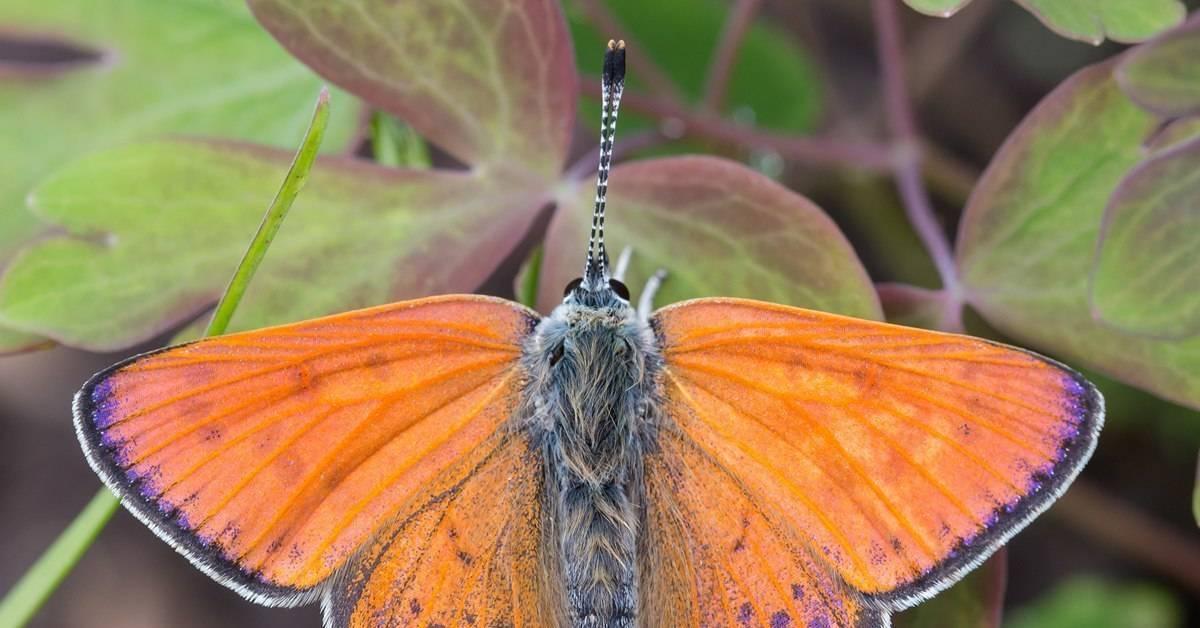Голубянка бабочка. образ жизни и среда обитания бабочки голубянки. бабочка голубянка — описание, среда обитания, виды как выглядит голубянка икар