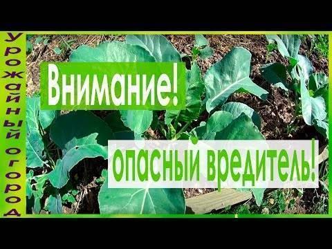 Как бороться с капустной молью