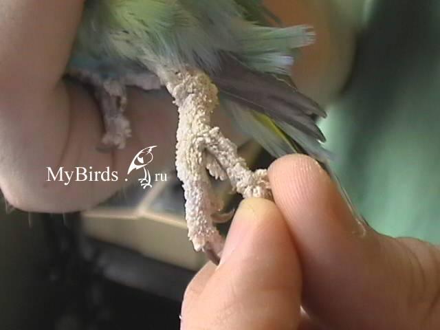 Клещ у попугая: симптомы и методы лечения