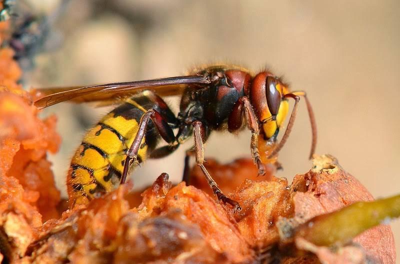Что делать с укусом осы, пчелы, шершня или шмеля