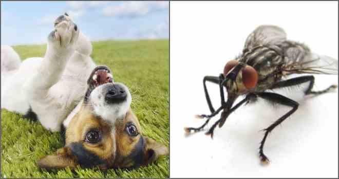 Как защитить уши собаки от укусов мух