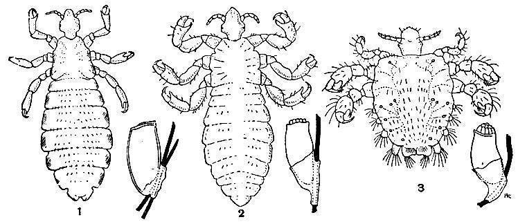 Гниды и вши в волосах: как они выглядят, инкубационный период. как вычесать гниды?