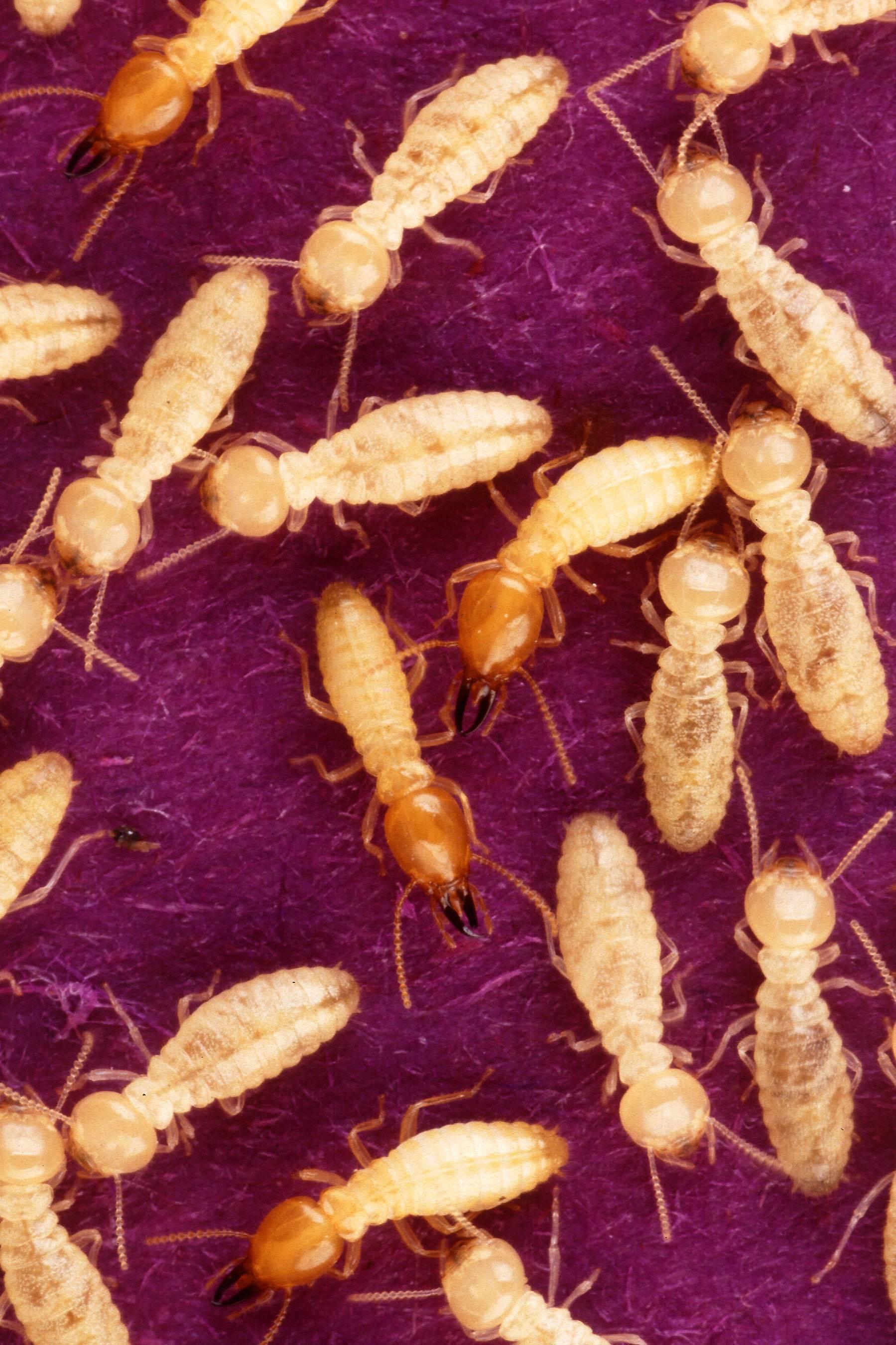 Термиты: описание и интересные факты о насекомом