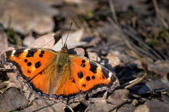 Кто питается бабочками крапивницами