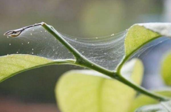 Как справиться с паутинным клещом – эффективные методы уничтожения