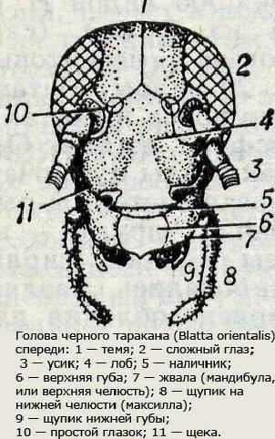 Как выглядят мелкие тараканы
