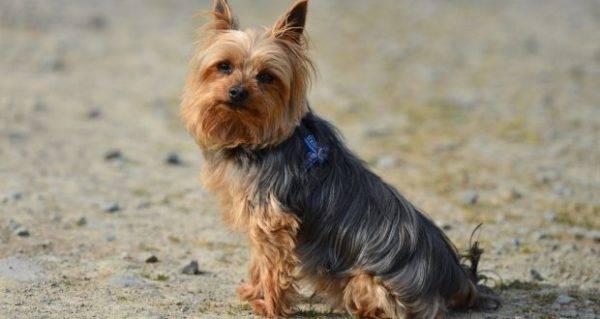 Как вывести блох у собак с помощью современных средств?