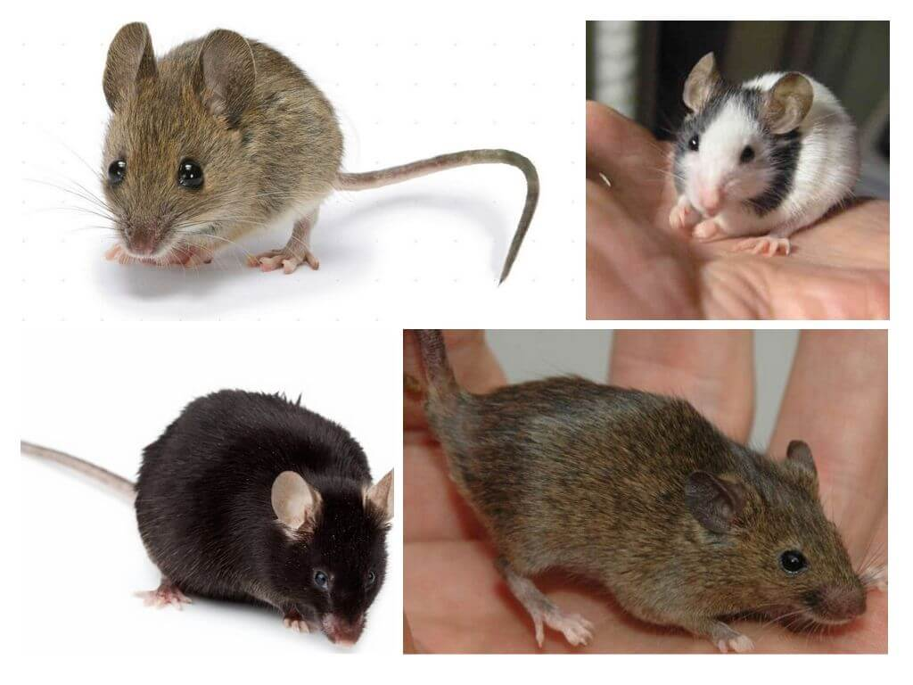 Крысы и мыши: разведение (чаво)