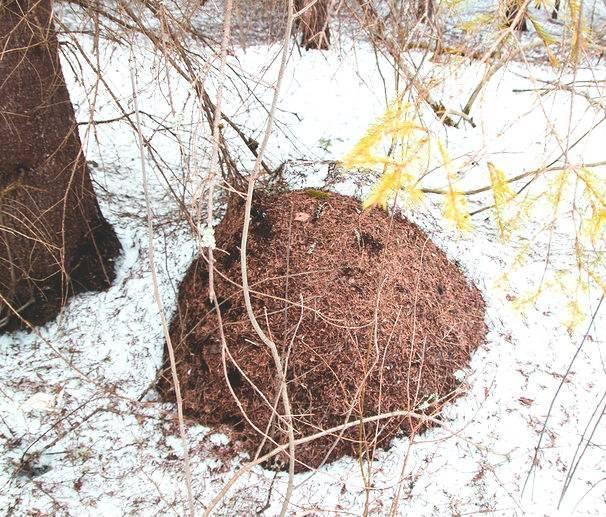 Как зимуют муравьи. что делают муравьи зимой