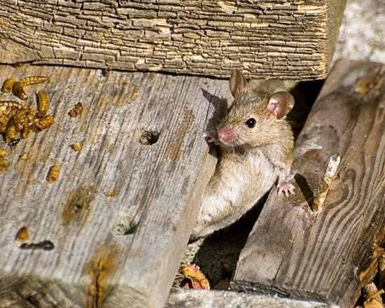 Ультразвуковой отпугиватель мышей и крыс своими руками