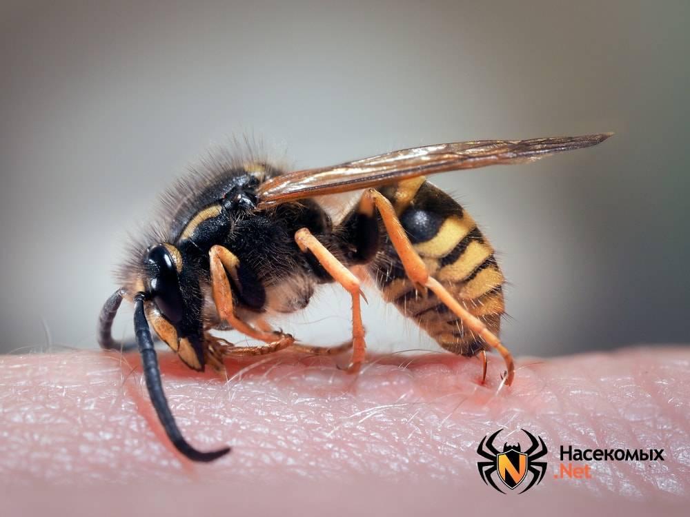 Укус осы: как выглядит, последствия и что делать после него