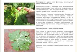 Виноградный клещ: лучшие методы борьбы с вредителем
