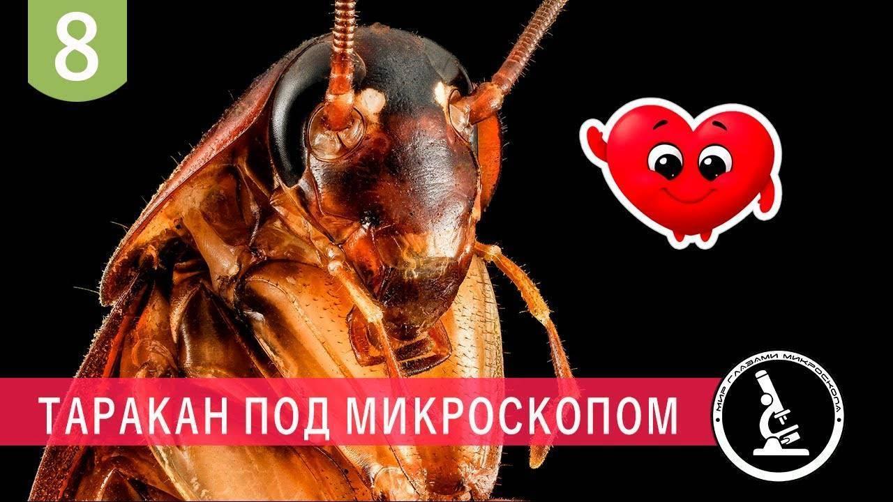 Тараканы отряд таракановые насекомые