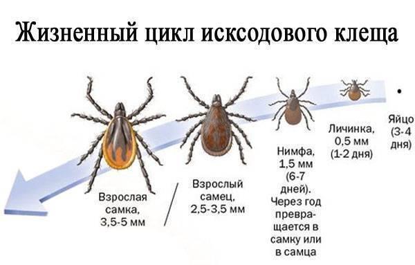 иксодовые (энцефалитные) клещи – виды, места обитания и особенности развития