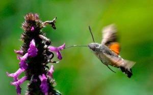 Бражники винный и липовый: история окукливания. винный бражник – образ жизни редких бабочек и гусениц гусеница с красными квадратными рисунками