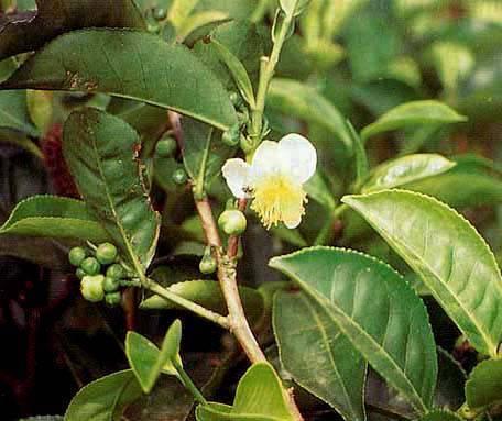 Масло чайного дерева от вшей и гнид