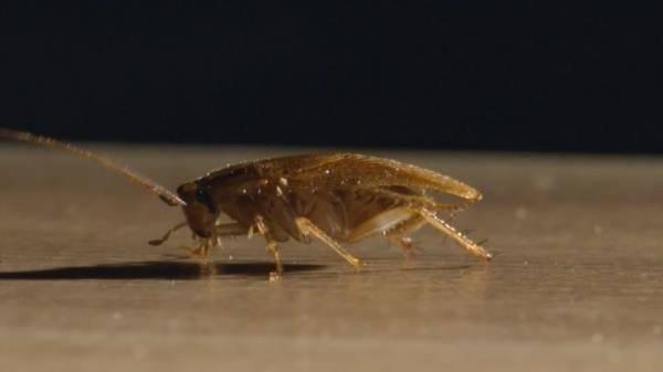 Описание вида рыжие тараканы: сколько и где живут, как размножаются, как избавиться от них в квартире. выясняем сколько живут тараканы? домашние и в дикой природе. какой у них жизненный цикл как долго живут тараканы