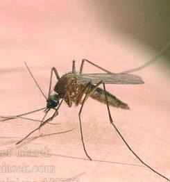 Подробное строение комара