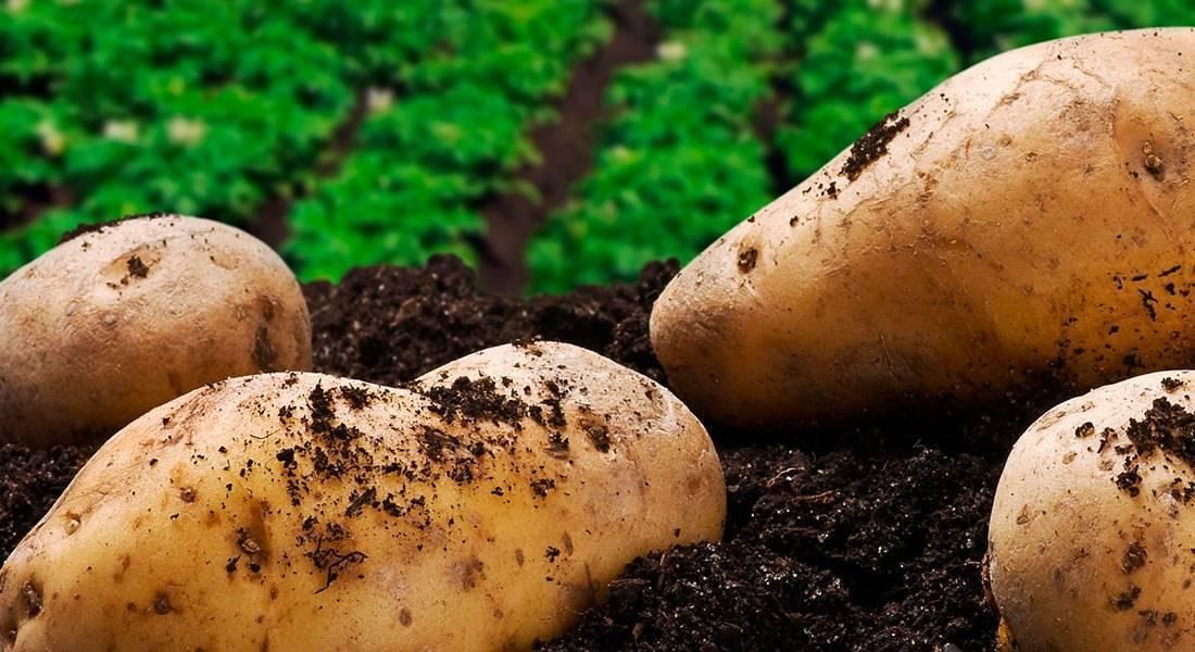 Вредители картофеля: описание и лечение, 12 видов