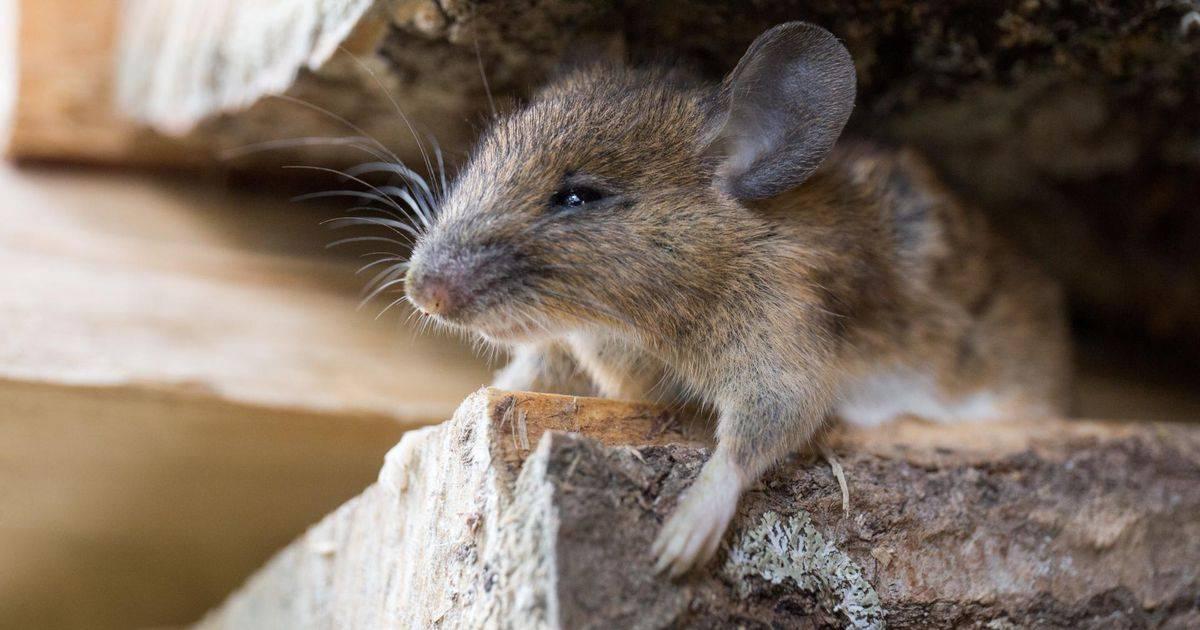 Мыши едят сыр или нет. на самом деле мыши не любят сыр