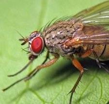 Как избавиться от капустной мухи на огороде