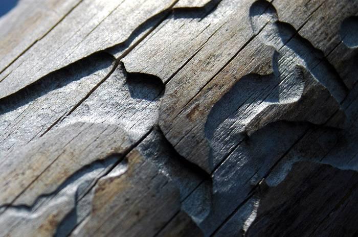 Жук-короед: описание, признаки заражения, методы борьбы