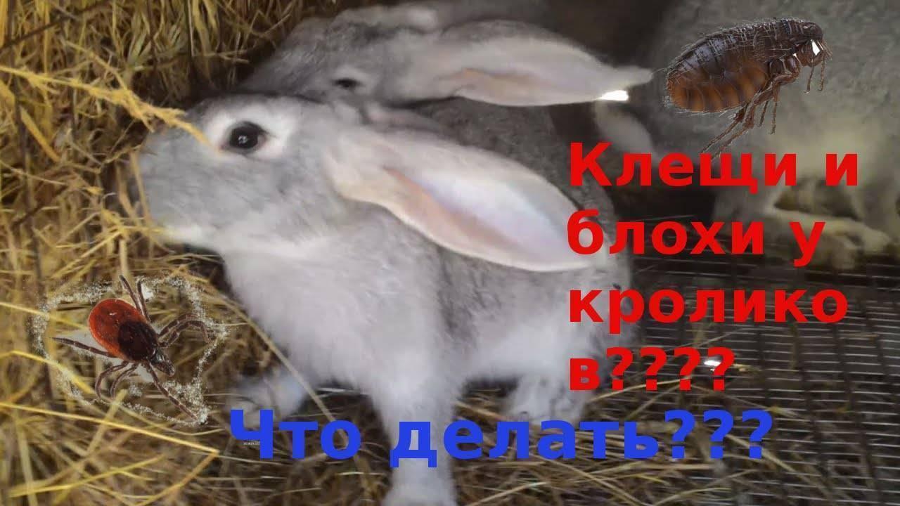 Блохи у кроликов - как выводить?