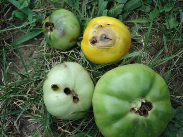 Какие вредители нападают на томаты? фото и названия