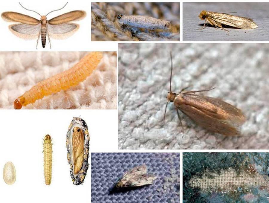 Как выглядят личинки моли, особенности питания и их жизненный цикл